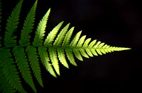 Fern Frond, Monmouthshire
